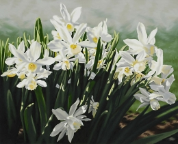 Narcissus by Lenni Workman